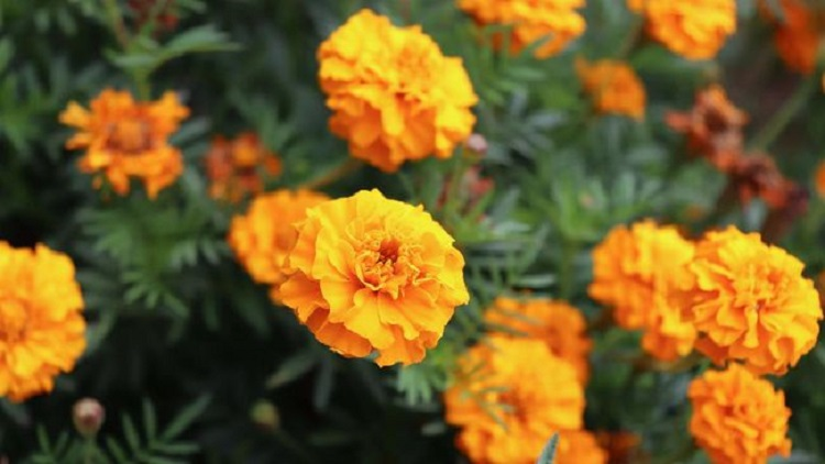 Tanaman hias marigold, Sumber : cnnindonesia.com