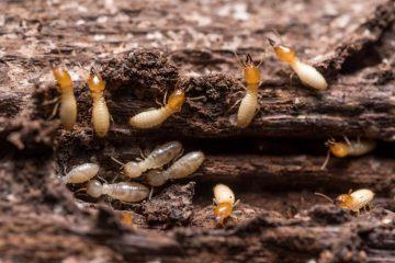 Gambaran rayap yang menyerang kayu, Sumber : andersonpestsolutions.com