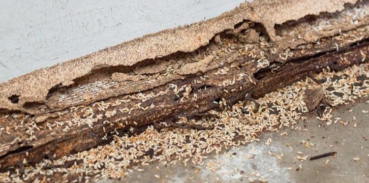 Koloni rayap menyerang secara diam-diam, Sumber : smarterpestcontrol.com